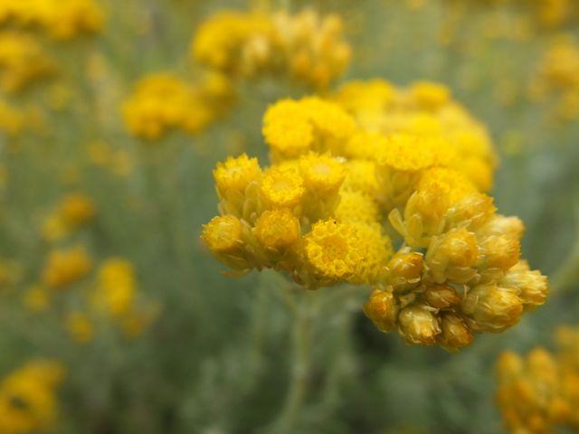 Hort de l'Alè-amarillos