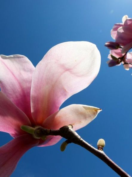 magnolia de invierno-2