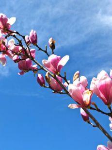 magnolia de invierno-4