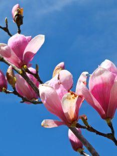 magnolia de invierno-5