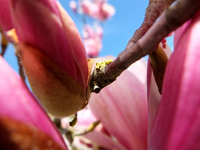 magnolia de invierno