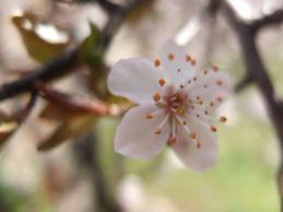 primavera-blanca