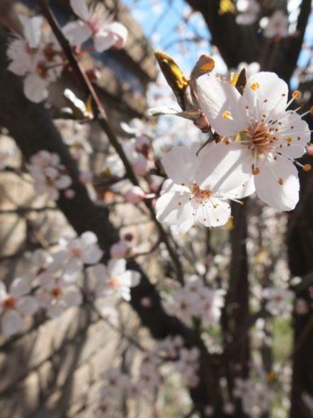 primavera-blanca3