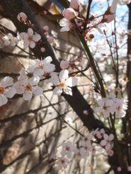 primavera-blanca4