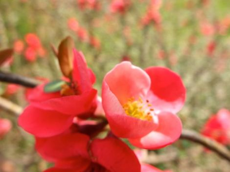 primavera-roja