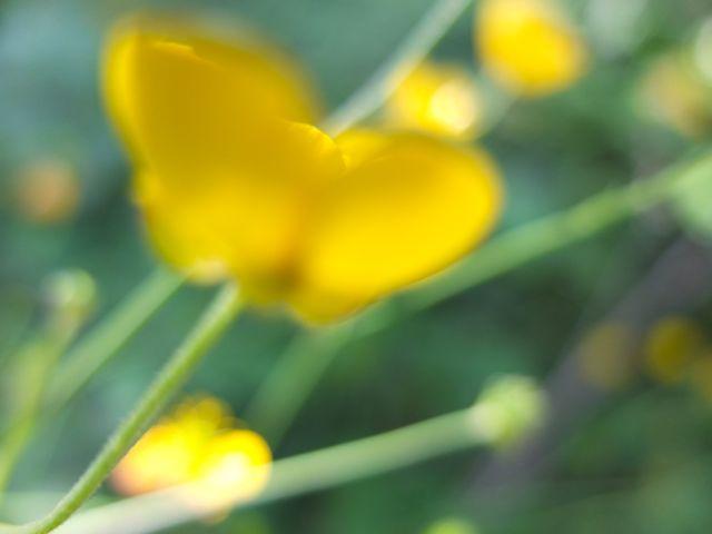 Ranunculus-botó d'or (2)