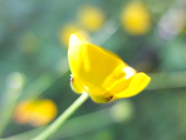 Ranunculus-botó d'or (3)