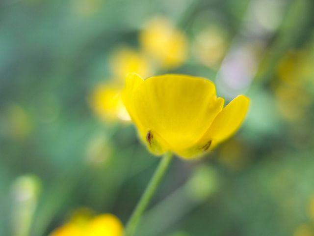 Ranunculus-botó d'or