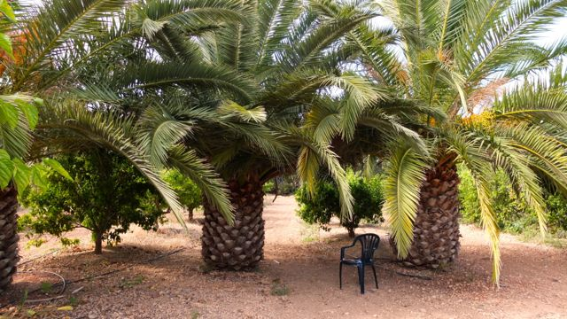 YMA-Las palmeras salvajes