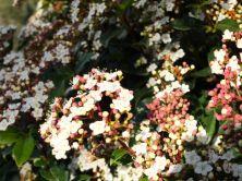 Viburnum tinus-4