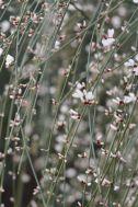 Sarga florida a la riba del Congost