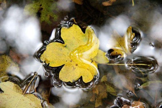 Fulla d'auró blanc a la riera de Martinet, a Aiguafreda